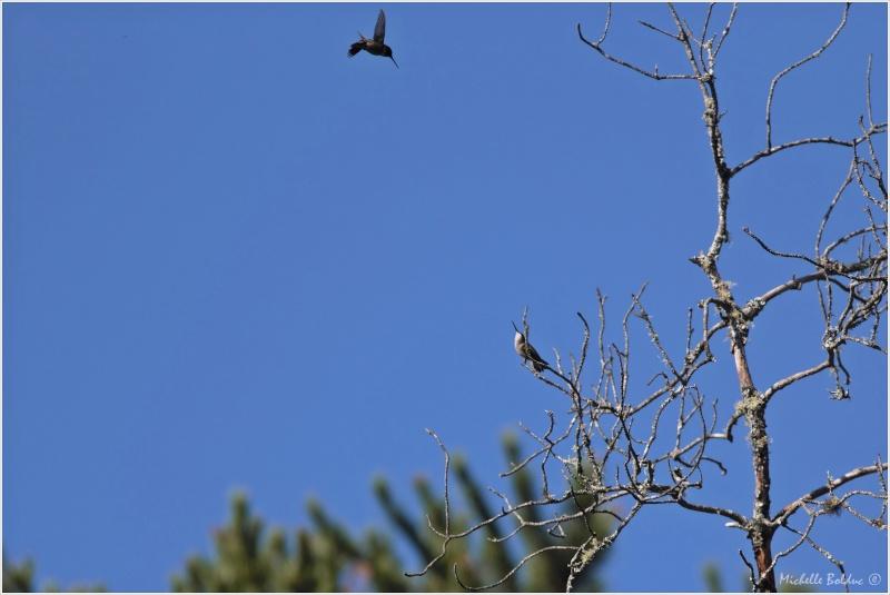 Comportement d'un couple de colibris Img_3810