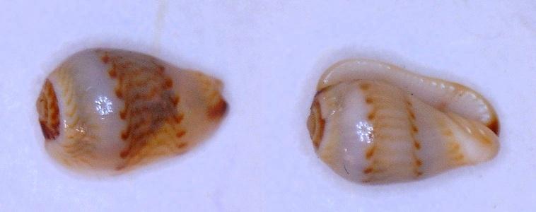 Gibberula almadiensis - Pin & Boyer, 1995 Almadi10