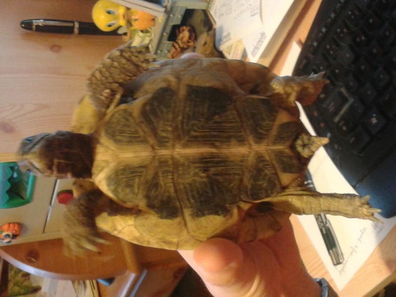 Doute sur le sexe de ma tortue 20150811
