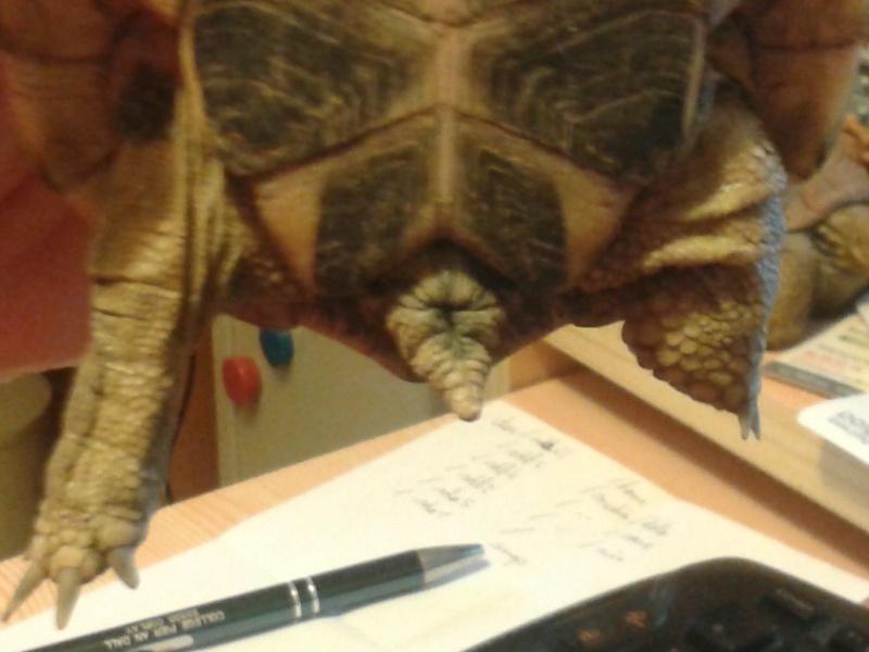 Doute sur le sexe de ma tortue 20150812
