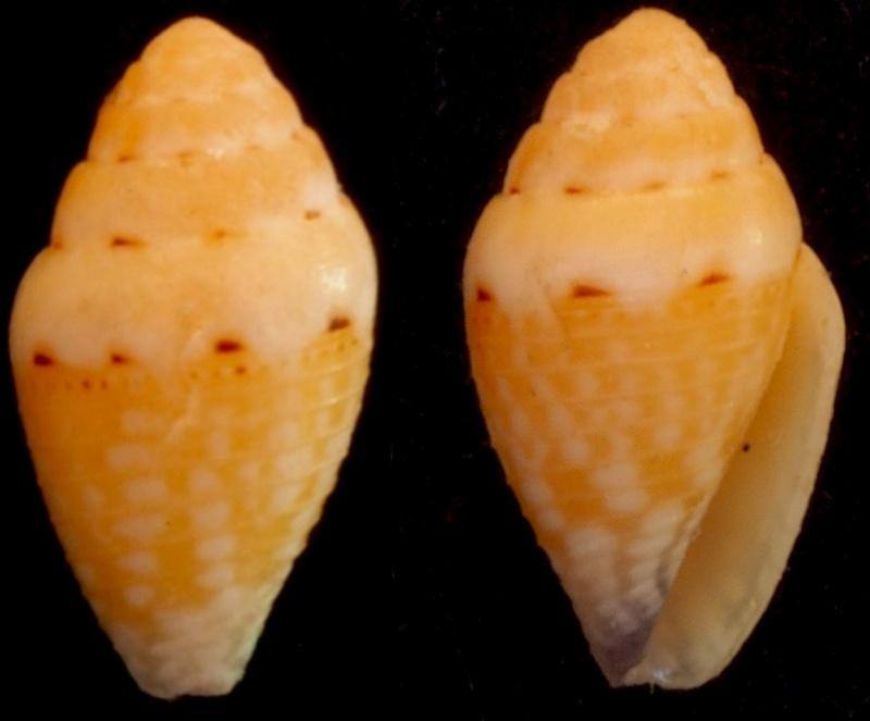 Pygmaeconus traillii (A. Adams, 1855)   Conus_10