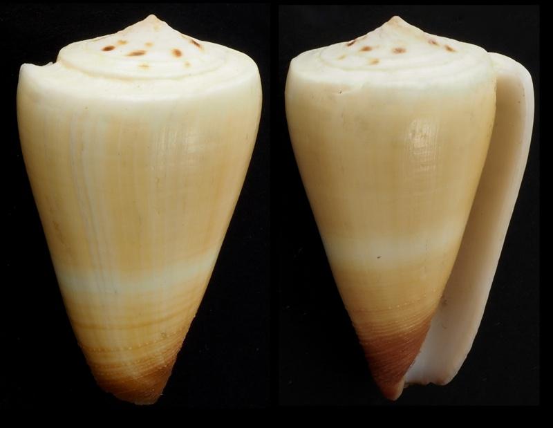 Conus_Planorbis  Conus_13
