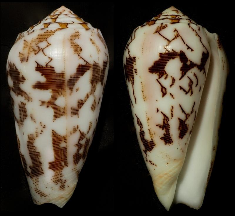 Conus (Pionoconus) striatus juliaallaryae   Cossignani, 2013 - Page 2 Conus_20