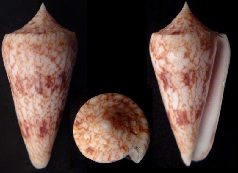 Conus (Phasmoconus) neptunus   Reeve, 1843 Graphi10