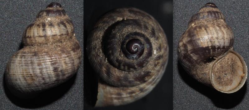 Pomatias elegans (O. F. Müller, 1774) - Page 3 Terres11