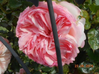 Rosa 'Pierre de Ronsard' !!! - Page 2 2015-011