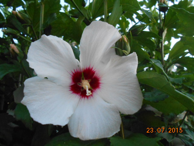 Hibiscus syriacus ou althéa  Dscn2391