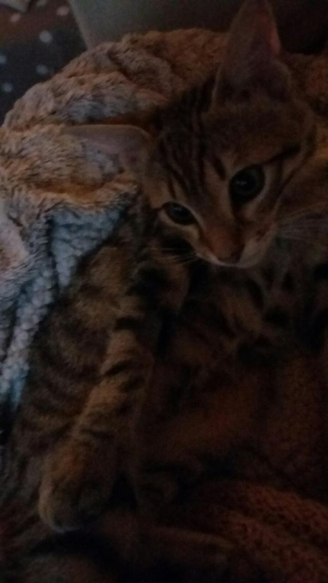 Lago, chaton en or, né en mars, en accueil sur Niort  20150813