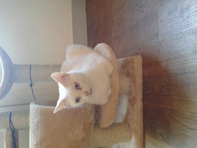 Lovely, petite minette toute blanche née en septembre 2014 Lovely10