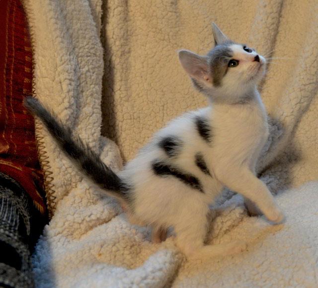 De beaux chatons a l'adoption ( 31 toulouse) 1211