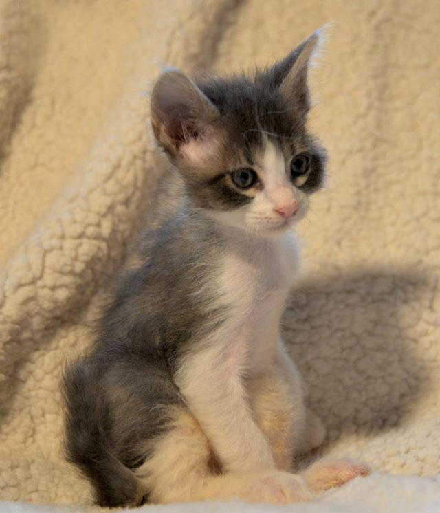 De beaux chatons a l'adoption ( 31 toulouse) 1311