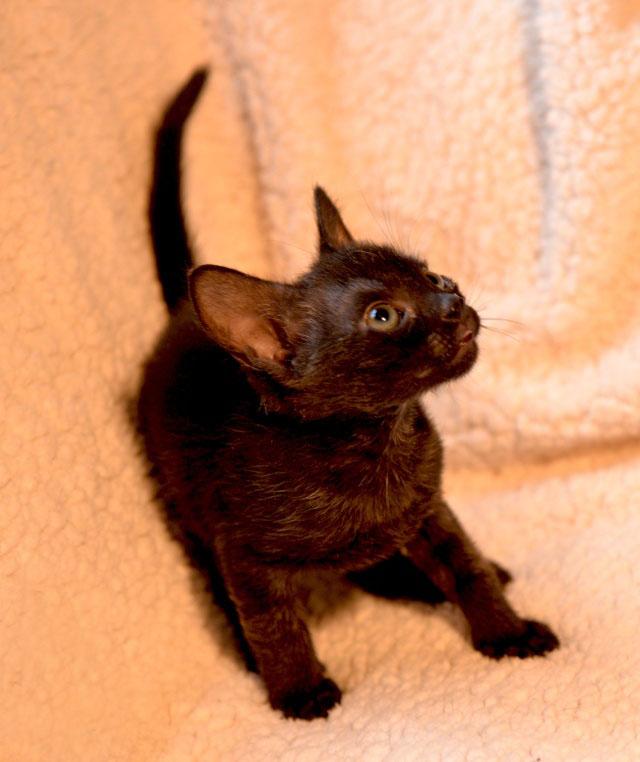 De beaux chatons a l'adoption ( 31 toulouse) 1611