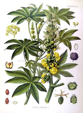 Ricinus communis - ricin commun 354px-10