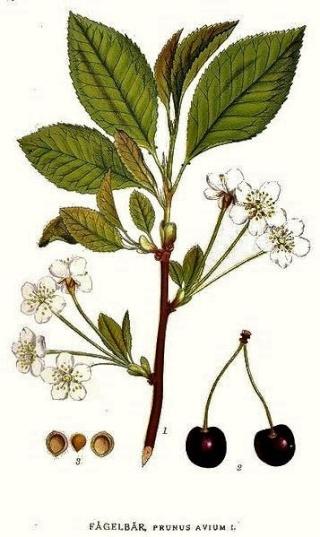 Prunus avium - merisier, cerisier sauvage 357px-11