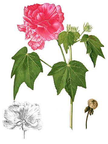 Hibiscus mutabilis  357px-13
