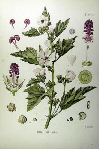 Althaea officinalis - guimauve officinale 398px-10