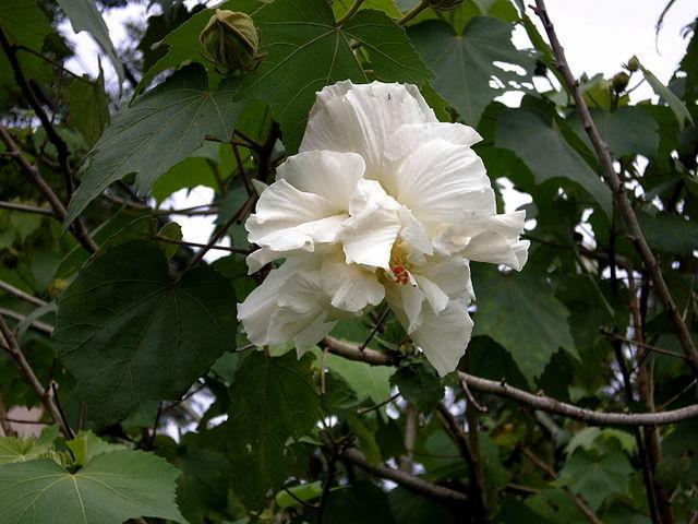Hibiscus mutabilis  640px-16