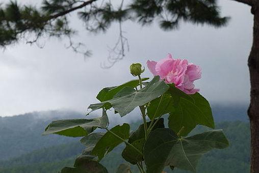 Hibiscus mutabilis  640px-17