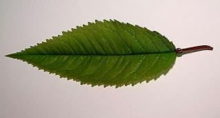 Prunus avium - merisier, cerisier sauvage 800px-11