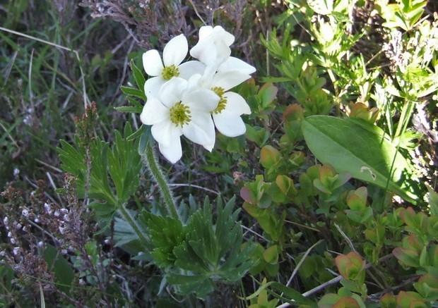 Anemone narcissiflora - anémone à fleur de narcisse Anemon10