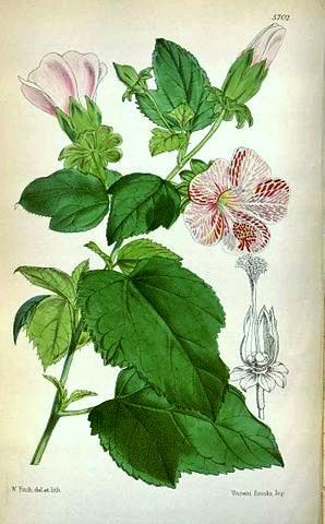 Hibiscus lavateroides Hibisc10