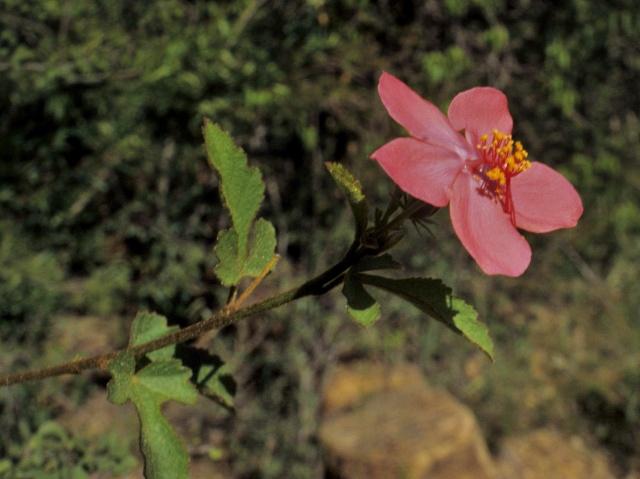 Hibiscus ferrugineus Hibisc13