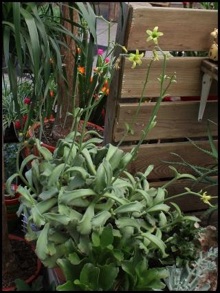 Cotyledon orbiculata var. flanaganii Img_9911