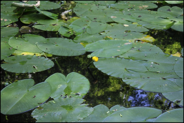 Nuphar lutea - nénuphar jaune Mare_y11