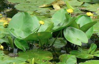Nuphar lutea - nénuphar jaune Nuphar10
