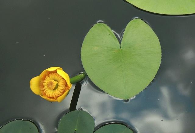 Nuphar lutea - nénuphar jaune Nuphar12