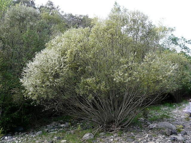 Salix rosmarinifolia - saule à feuilles de romarin Salix_10