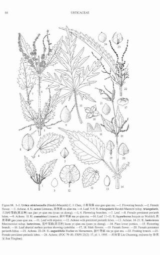 Urtica cannabina - ortie chinoise  Urtica10