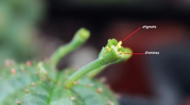 Euphorbia obesa x meloformis - Page 2 Xx10