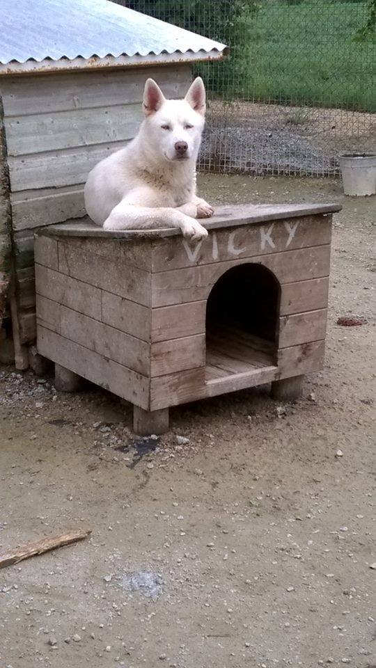 Snow husky (m)   ok enfants propre fugueur REFU85 ADOPTé 10464210