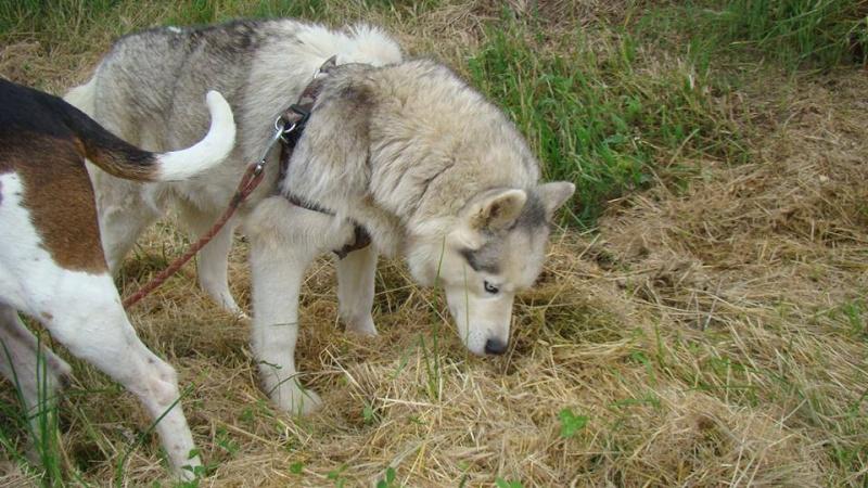 Balika, Husky 9 ans douce ok enfants chiens REFU64 ADOPTEE 11049510