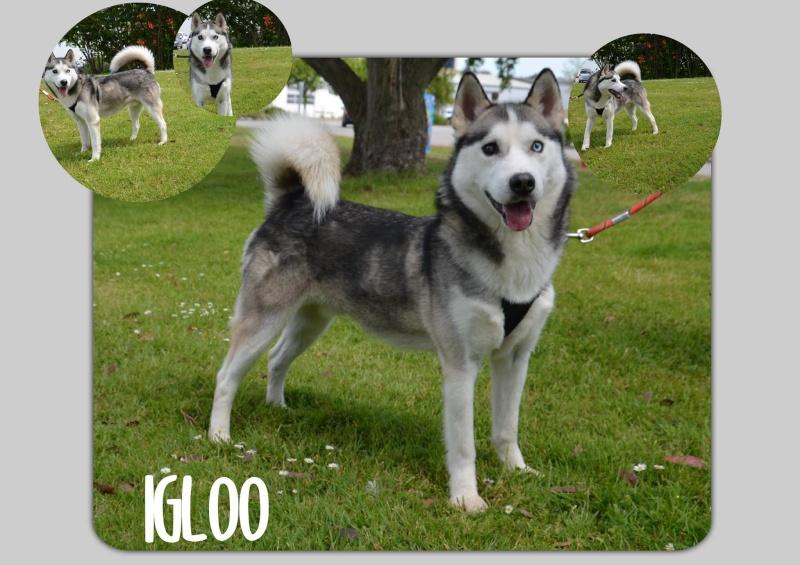 Igloo husky (m)gris et blanc né le 07/2013/doux REFU50  ADOPTé!! 11116210