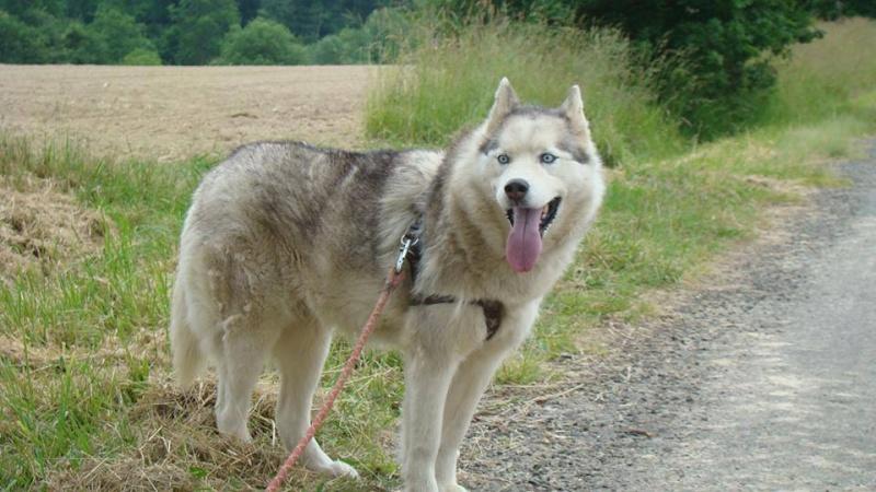 Balika, Husky 9 ans douce ok enfants chiens REFU64 ADOPTEE 11226910