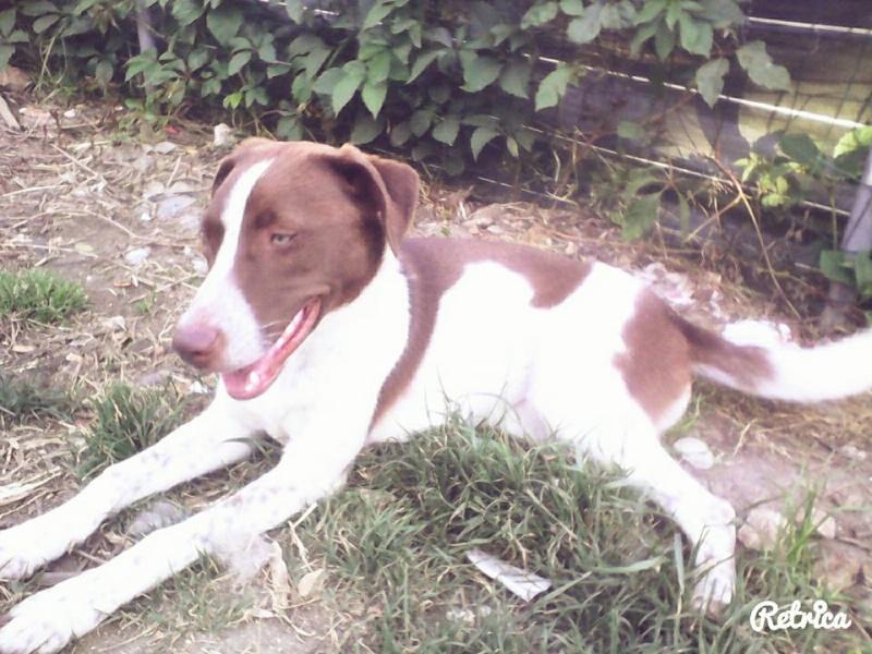 Milka ( f)  Husky/ braque allemand 6 mois ok congénères ASSO37 Adopter 11428410
