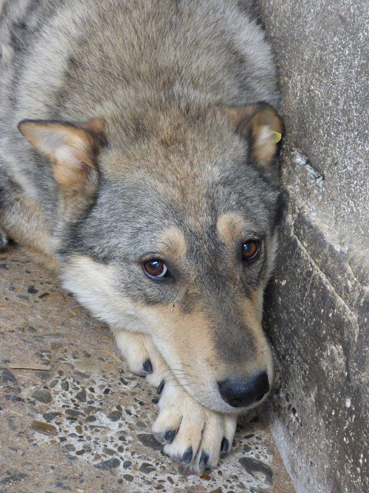 Migou, croisé Husky taille moyenne 2/3 ans. Roumanie  15449410