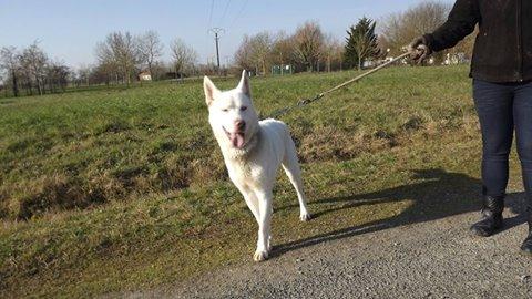 Snow husky (m)   ok enfants propre fugueur REFU85 ADOPTé 79113710