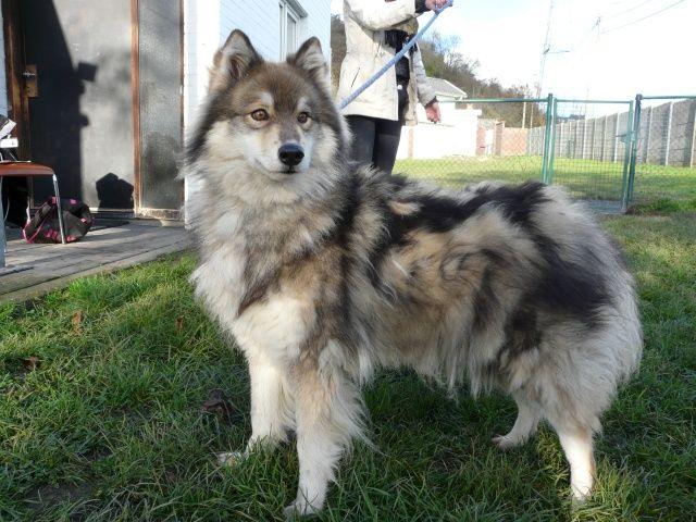 Luna x husky (f) 6 ans 8 mois REFU Belgique I1081910