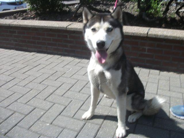 Eika husky (f) 1 an 5 mois REFU BELGIQUE Adopter I1083710