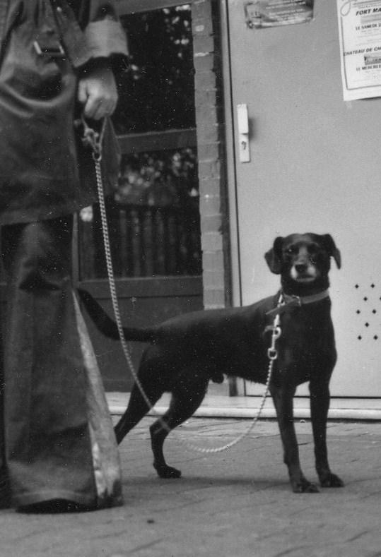 Réglisse,croisé labrador noir,perdu 87 Img00912