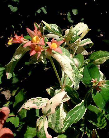 Hypericum moserianum (x) 'Tricolor' 798-110