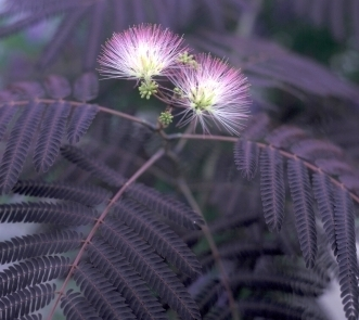 ALBIZIA julibrissin SUMMER CHOCOLATE Bbg6jm10