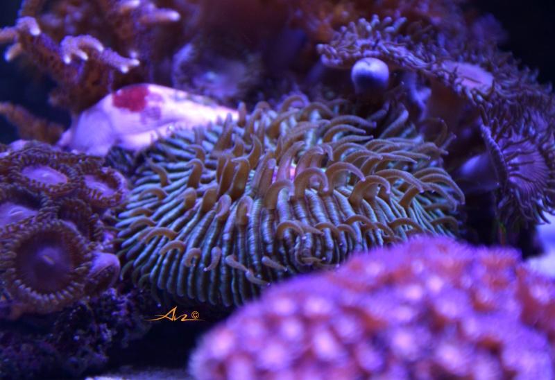 Mon premier aquarium eau de mer - Page 4 Fungia10