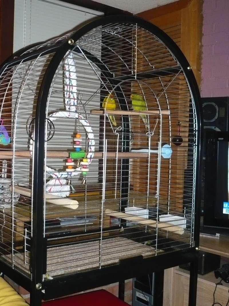 Un Kakariki peut-il rester seul en cage ? P1080112