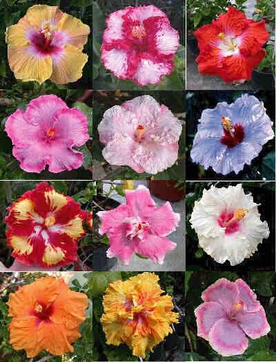 Cateva  cuvinte  despre  Hibiscus(Trandafir-de-China) Untitl11