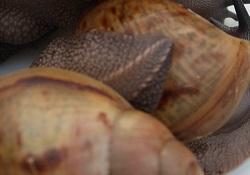 Archachatinas marginata ovum Fiche111