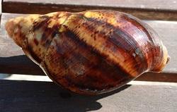 Archachatinas marginata ovum Fiche810
